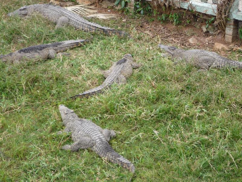 krokodilfarm2