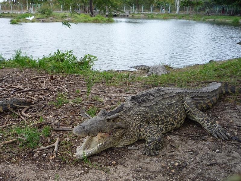 krokodilfarm3