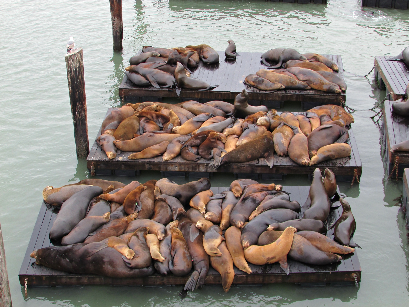 San Francisco - Seelöwen - Sea Lions - USA Rundreise - Roadtrip - Reisebericht - Travel Diary - Fashionladyloves